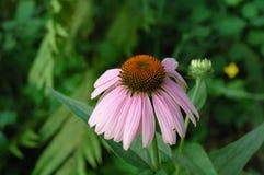 Fiore del cono fotografia stock