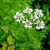 Fiore del coriandolo Fiore bianco sulla pianta di coriandolo Fotografia Stock Libera da Diritti