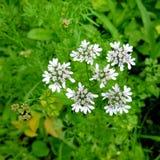 Fiore del coriandolo Fiore bianco sulla pianta di coriandolo Immagini Stock Libere da Diritti