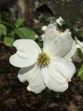Fiore del corniolo Immagini Stock Libere da Diritti