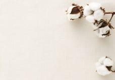 Fiore del cotone Fotografie Stock Libere da Diritti