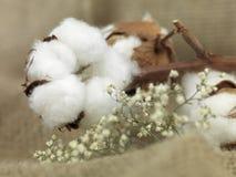 Fiore del cotone Immagini Stock Libere da Diritti