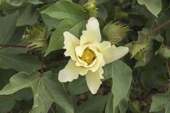 Fiore del cotone, pianta di cotone, germoglio del cotone Fotografia Stock Libera da Diritti