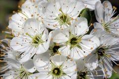 Fiore del cratego al sole Fotografia Stock