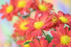 Fiore del crisantemo Immagine Stock
