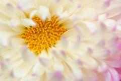 Fiore del crisantemo immagine stock libera da diritti