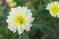 Fiore del crisantemo Fotografie Stock Libere da Diritti