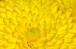 Fiore del crisantemo che riempie la struttura di giallo immagine stock
