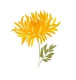 Fiore del crisantemo di autunno Fotografie Stock Libere da Diritti