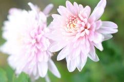 Fiore del crisantemo di rosa pastello Fotografie Stock
