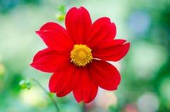 Fiore del crisantemo in fauna selvatica Immagini Stock