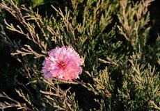 Fiore del crisantemo nei rami del cipresso Giardino di autunno Fotografia Stock