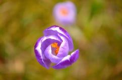 Fiore del croco Fotografia Stock Libera da Diritti