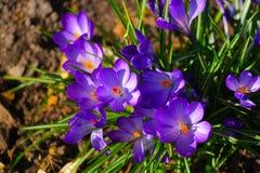 Fiore del croco Fotografie Stock Libere da Diritti