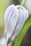 Fiore del croco. Fotografia Stock