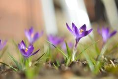 Fiore del croco Fotografie Stock