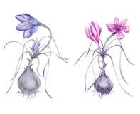 Fiore del croco con una radice Isolato su priorità bassa bianca Fotografia Stock Libera da Diritti
