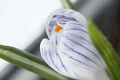 Fiore del croco diagonalmente. Fotografia Stock