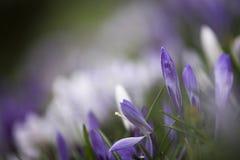 Fiore del croco nell'erba di primavera, Cornovaglia, Regno Unito Fotografia Stock