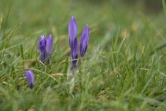 Fiore del croco nell'erba di primavera, Cornovaglia, Regno Unito Immagini Stock Libere da Diritti