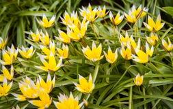 Fiore del croco sul giardino, sulla molla in anticipo, sul bello fiore, sul fiore giallo e blu soleggiato di giorno, del croco Dr immagine stock