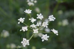 Fiore del cumino immagine stock