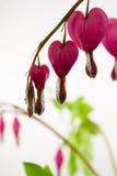 Fiore del cuore di emorragia Immagini Stock Libere da Diritti