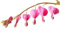 Fiore del cuore di spurgo fotografie stock