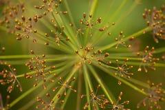 Fiore del fiore dell'aneto Fotografie Stock