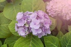 Fiore del fiore dell'ortensia sul fondo verde chiaro della foglia Fotografie Stock