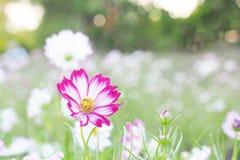 Fiore del fiore dell'universo Immagini Stock