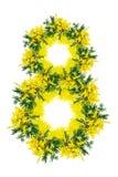 Fiore del fiore della mimosa isolato su fondo bianco Numero otto 8 marzo Modello della struttura della cartolina d'auguri Morbide Fotografia Stock Libera da Diritti
