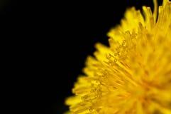 Fiore del dente di leone Immagini Stock Libere da Diritti