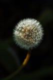 Fiore del dente di leone Fotografia Stock