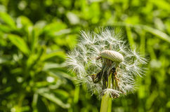 Fiore del dente di leone Fotografie Stock