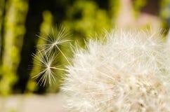 Fiore del dente di leone Immagini Stock