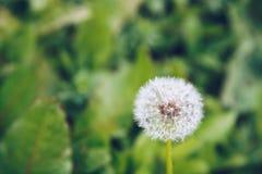 Fiore del dente di leone Blowball sul fondo dell'erba verde Blo della primavera Fotografie Stock Libere da Diritti