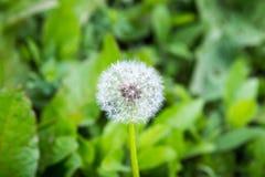 Fiore del dente di leone Blowball sul fondo dell'erba verde Blo della primavera Immagini Stock