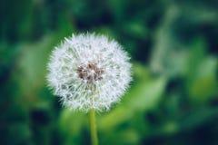 Fiore del dente di leone Blowball sul fondo dell'erba verde Blo della primavera Fotografia Stock Libera da Diritti