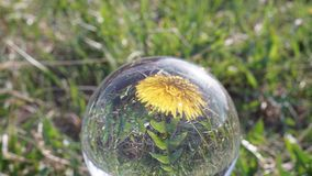 Fiore del dente di leone che apre la sua riflessione del fiore nel lasso di tempo della sfera di cristallo archivi video