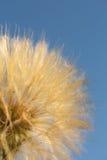 Fiore del dente di leone con la fine della palla dei semi su Priorità bassa per una scheda dell'invito o una congratulazione four fotografia stock