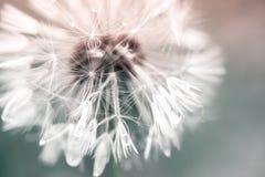 Fiore del dente di leone con le gocce di acqua su lanugine fotografie stock