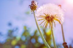 Fiore del dente di leone con luce solare - libertà da desiderare Immagini Stock