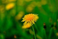 Fiore del dente di leone davanti a fondo verde saturato blured Fotografia Stock
