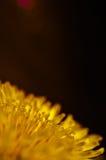 Fiore del dente di leone su un fondo rosso scuro Fotografia Stock