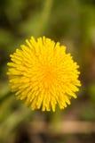 Fiore del dente di leone (Taraxacum) Fotografia Stock