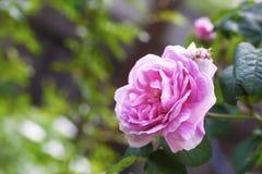 Fiore del DES Peintres di Rosa Centifolia Rose Immagine Stock