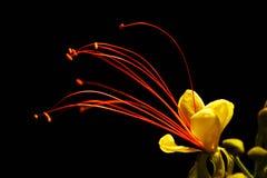 Fiore del deserto Immagini Stock Libere da Diritti