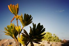 Fiore del deserto Fotografie Stock Libere da Diritti