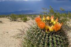 Fiore del deserto Fotografie Stock